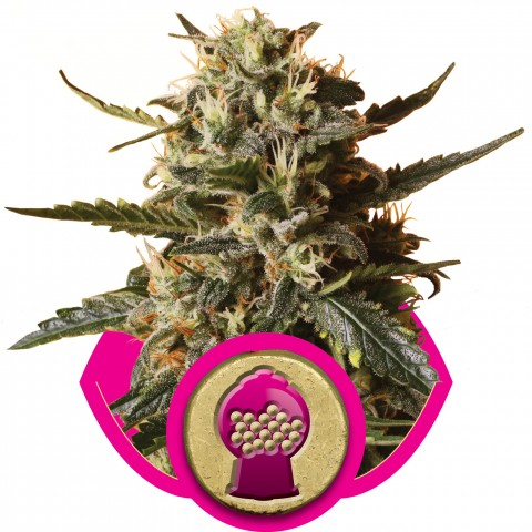 Bubble Gum XL by Royal Queen Seeds
