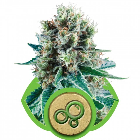 Bubble Kush Automatic by Royal Queen Seeds