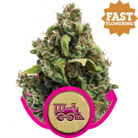 Candy Kush Express Fast V by Royal Queen Seeds