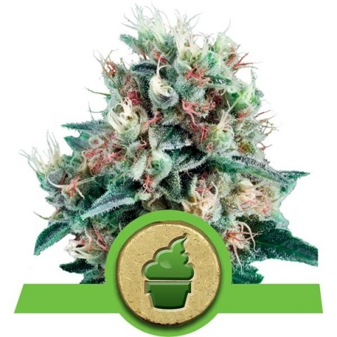 Creamatic by Royal Queen Seeds-10