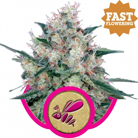 Honey Cream Fast V by Royal Queen Seeds