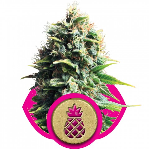 Pineapple Kush by Royal Queen Seeds