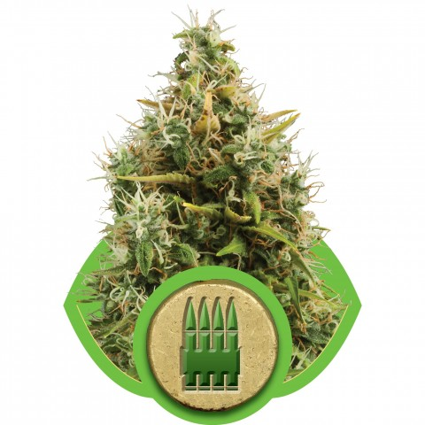 Royal AK Automatic by Royal Queen Seeds