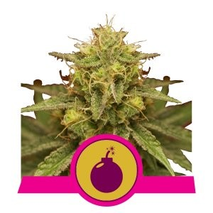 Royal Domina by Royal Queen Seeds