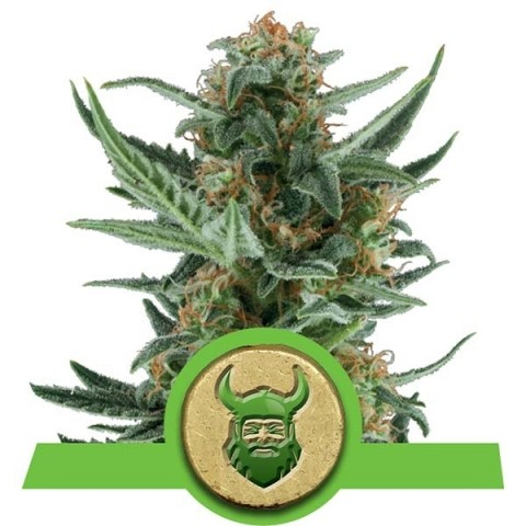 Royal Dwarf by Royal Queen Seeds