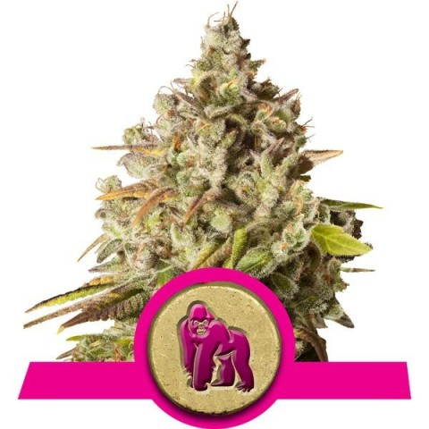 Royal Gorilla by Royal Queen Seeds