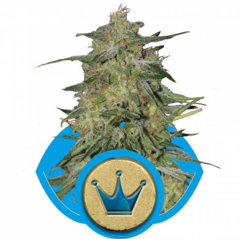 Royal Highness by Royal Queen Seeds