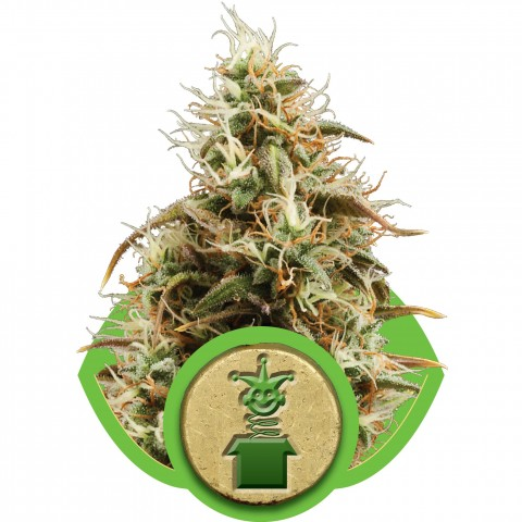 Royal Jack Automatic by Royal Queen Seeds