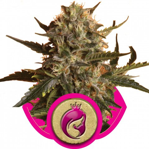 Royal Madre by Royal Queen Seeds