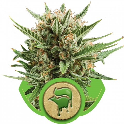 Sweet Skunk Automatic by Royal Queen Seeds