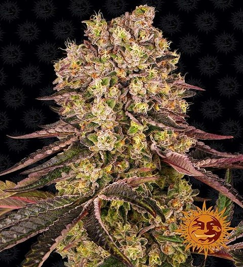Runtz Muffin Feminized by Barney's Farm