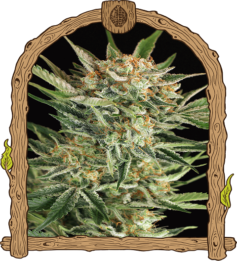 Russian Automatic by Exotic Seeds