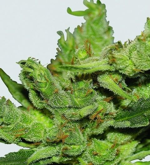 Haze #1 Regular - Nirvana Seeds