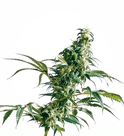 Mexican Sativa Feminized by Sensi Seeds