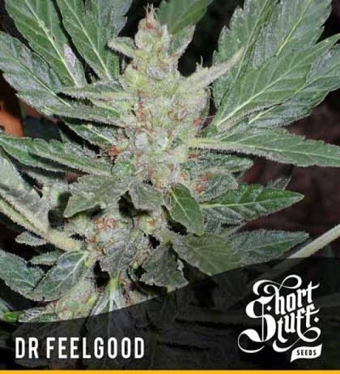 Dr Feelgood Auto Reg - Short Stuff