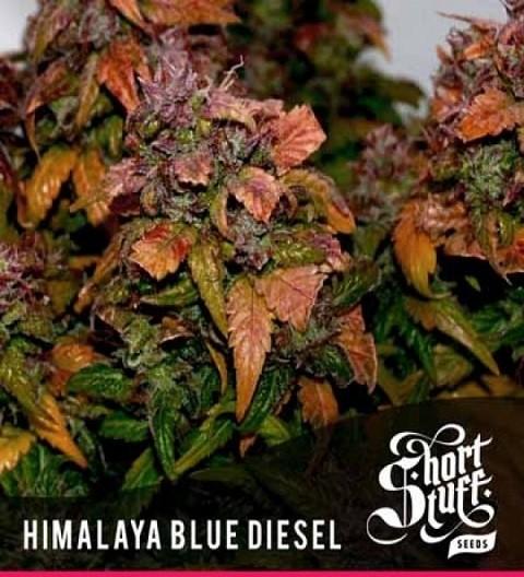 Short Stuff Himalayan Blue Diesel