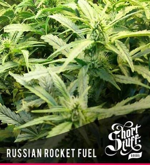 Russian Rocket Fuel Auto Feminized - Short Stuff