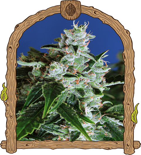 Sir Jack Auto by Exotic Seeds