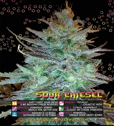 Sour Chiesel Feminized by Big Buddha Seeds