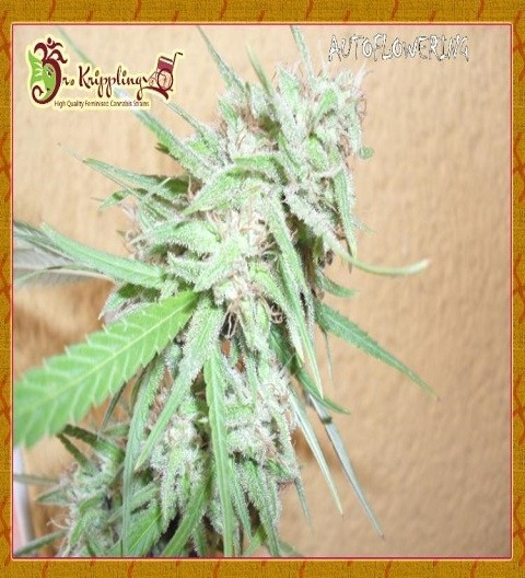 Spinning Buzz Kick by Dr Krippling Seeds