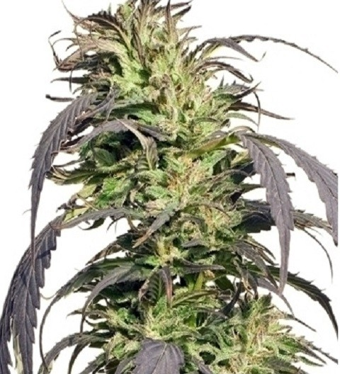 Spliff Seeds Gold Rush Outdoor