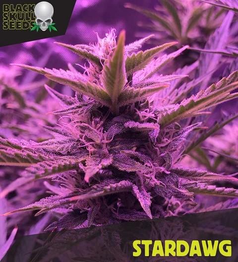 Stardawg by Black Skull Seeds