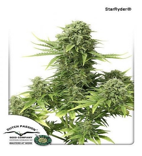 Star Ryder Automatic by DP Seeds