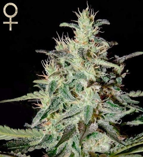 White Lemon by Strain Hunters Seeds
