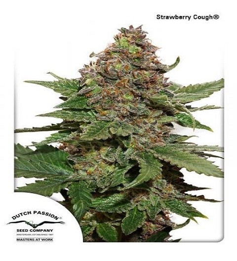 Strawberry Cough by DP Seeds