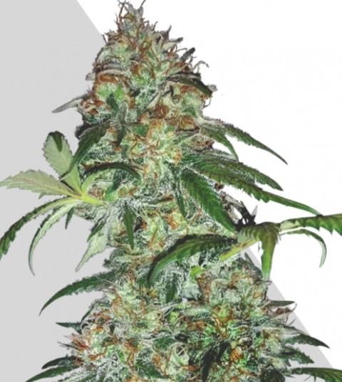 Sucker Punch Marijuana Seeds