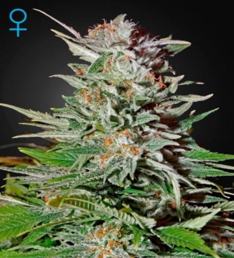 Super Lemon Haze Auto Feminized Marijuana Seeds