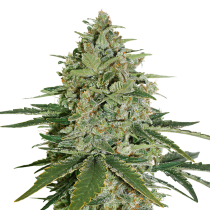 Super Skunk by Seed Stockers