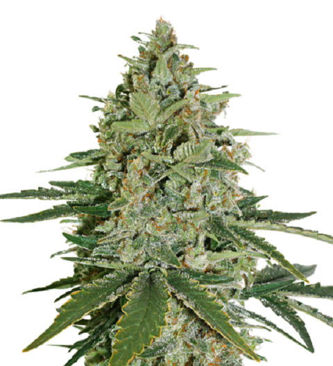 Super Skunk Auto by Seed Stockers
