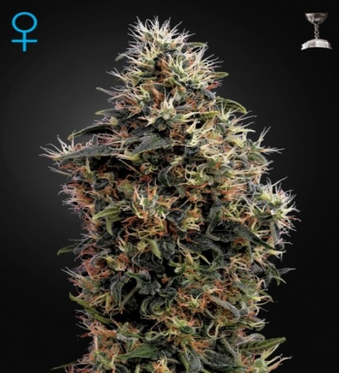 Sweet Mango Auto Feminized Marijuana Seeds