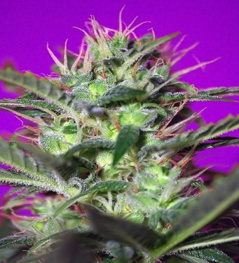 Botafumeiros - Sweet Seeds