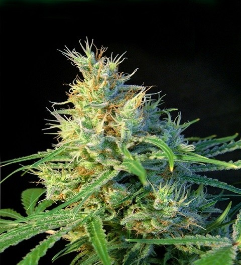Psicodelicia Feminized by Sweet Seeds