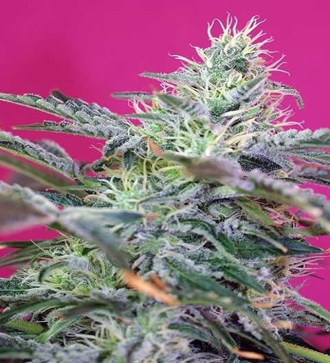 Sweet Cheese Auto by Sweet Seeds