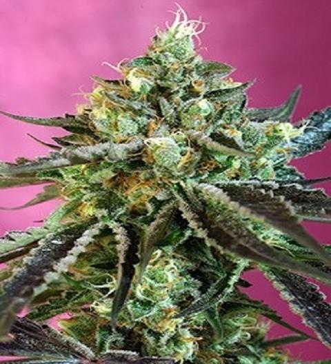 Sweet Nurse Auto CBD by Sweet Seeds