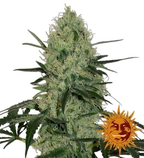 Tangerine Dream Auto Feminized Marijuana Seeds