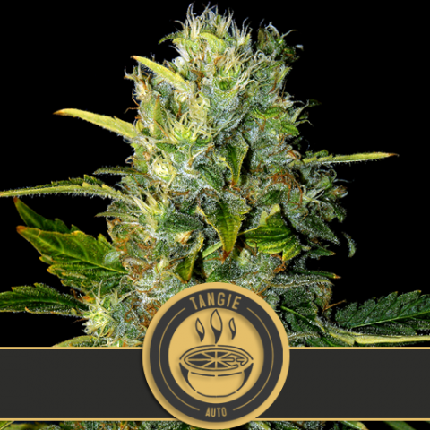 Tangie Auto by Blim Burn Seeds