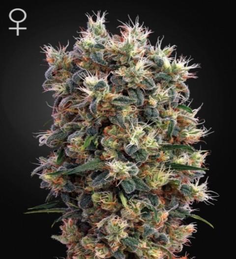 The Church Feminized Marijuana Seeds