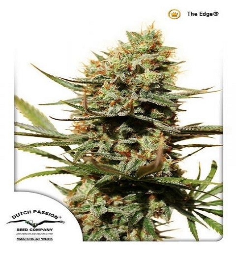 The Edge by DP Seeds