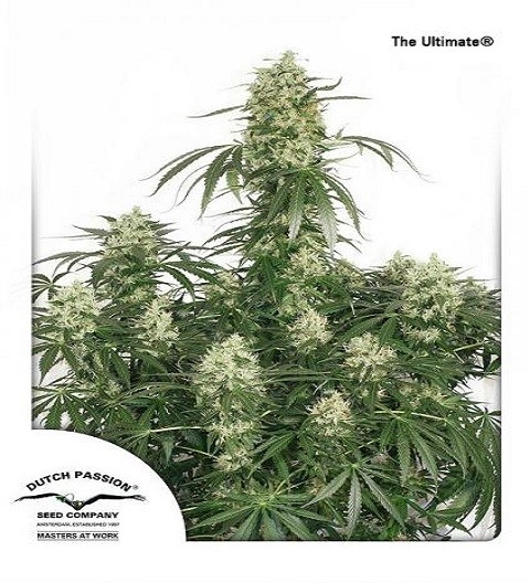 The Ultimate by DP Seeds