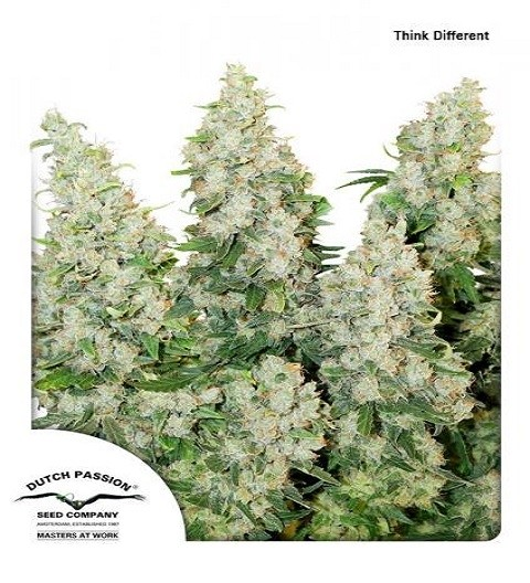Think Different Auto by DP Seeds
