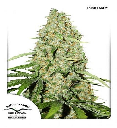 Think Fast by DP Seeds