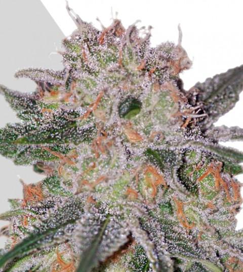 Trans Siberian Marijuana Seeds
