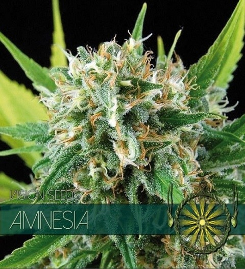 Amnesia Feminized by Vision Seeds