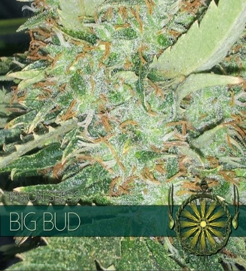 Big Bud Feminized by Vision Seeds