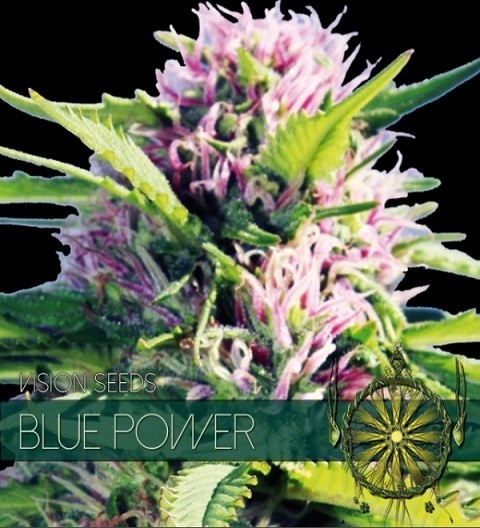 Blue Power Feminized by Vision Seeds-5