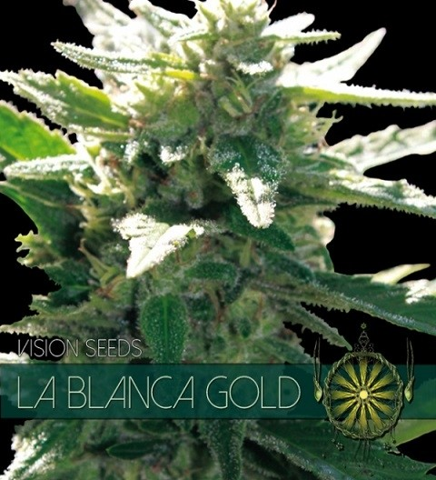 La Blanca Gold Feminized by Vision Seeds
